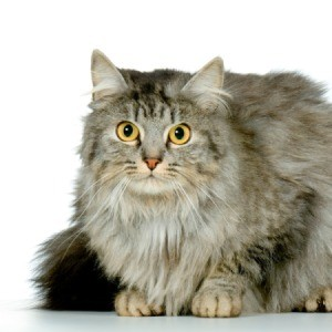 Domestic Longhair