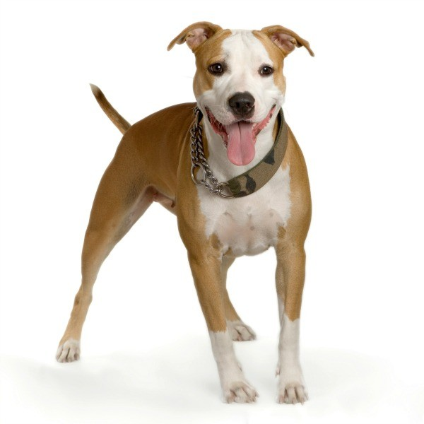 Pit Bull Breed Information and Photos | ThriftyFun