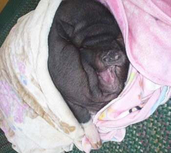 BettyBoots (Pot Bellied Pig)