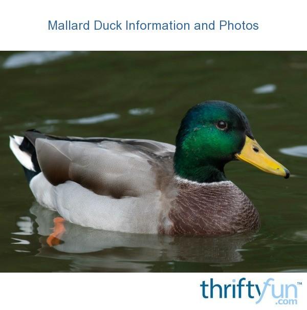 Mallard_duck_fancy1.jpg