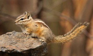 Yellow pine chipmunk on a rock.