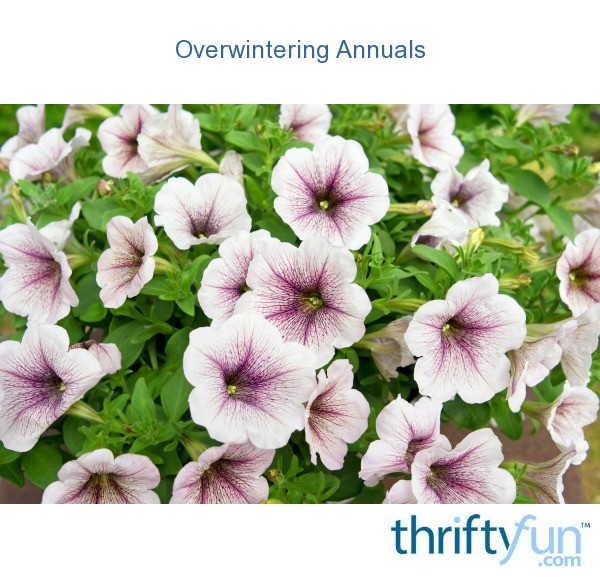 Overwintering annuals thriftyfun - Overwintering geraniums tips ...