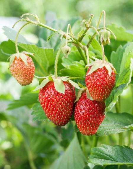 Strawberries growing.