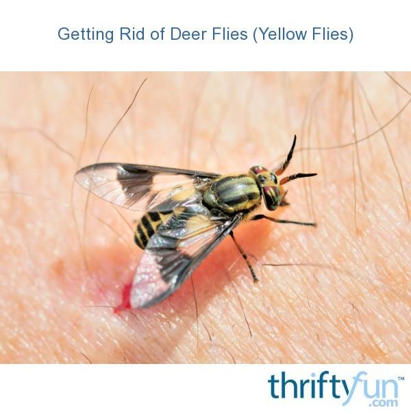 Getting Rid Of Deer Flies Yellow Flies Thriftyfun