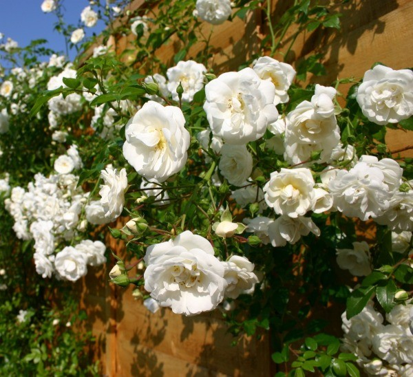 Roses In Garden: Growing Climbing Roses