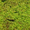 Duckweed in a Pond