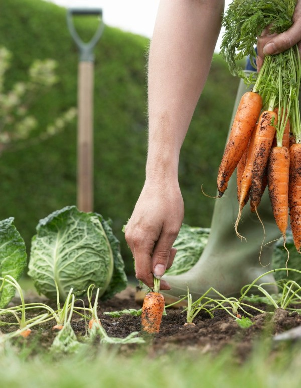 Growing carrots and other vegetables.