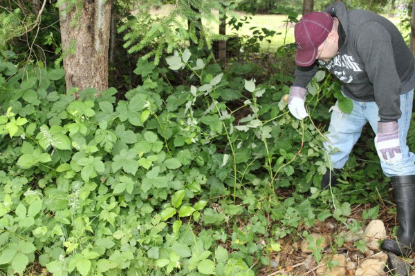 how to get rid of overgrown blackberry bushes