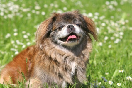 Pekingese in the grass.