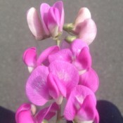Pink sweet pea like flower.