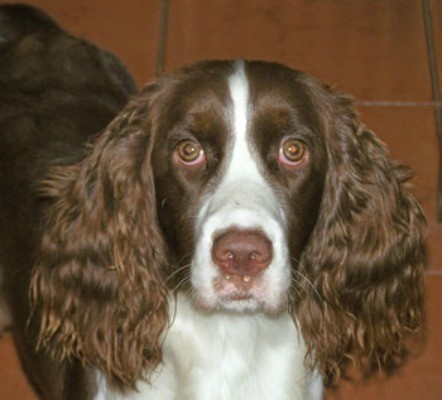 Toffee (English Springer Spaniel)