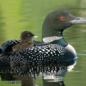 Baby Loon on its mom's back.