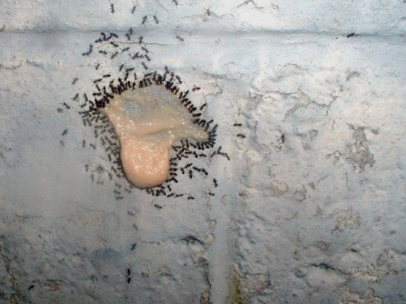 Ants feeding on a solution of boric acid.