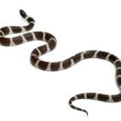Black and White Eastern Kingsnake