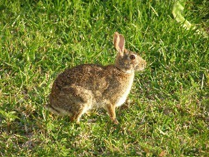 Wild brown rabbit.