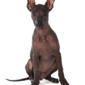 Xoloitzcuintli (Mexican Hairless)