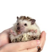 Pet Hedgehog being held.