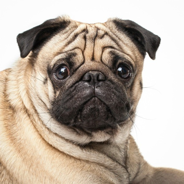 pug looking sad.