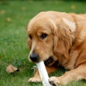 A golden retriever chewing on a bone.