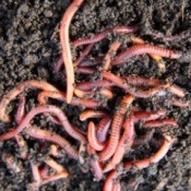 Earthworms In Garden