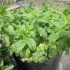 Spearmint growing in a container.