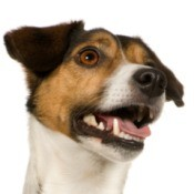 Jack Russell Terrier with bad breath.