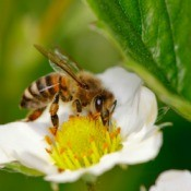Honeybee on a strawberry blossom.
