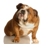 A bulldog with a flatulence problem