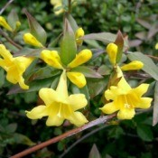 Carolina Jessamine or Gelsemium sempervirens