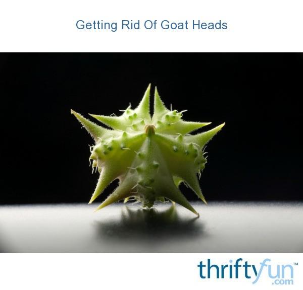 goat_head_fruit_fancy1.jpg