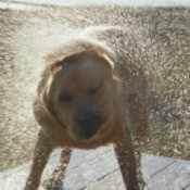 A wet dog shaking off water.