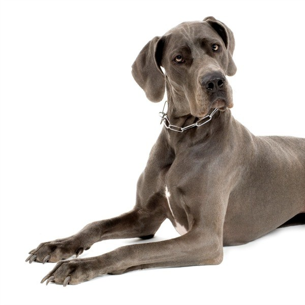 Great Dane Breed Information and Photos  ThriftyFun