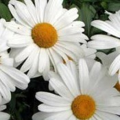 Closeup of daisies.