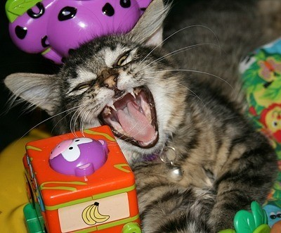 Cat with mouth wide open.