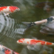 Koi swimming in a pond.