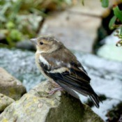 A chaffinch sitting on a rock by a garden pond.