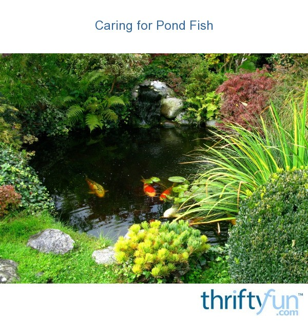 Caring For Pond Fish Thriftyfun
