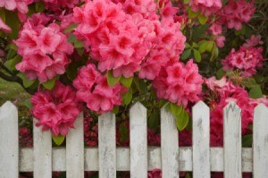 Rhododendron with pink flowers growing in front of a picket fence.