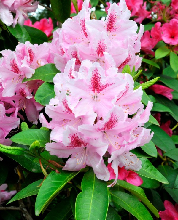 Rhododendron with pink flowers.