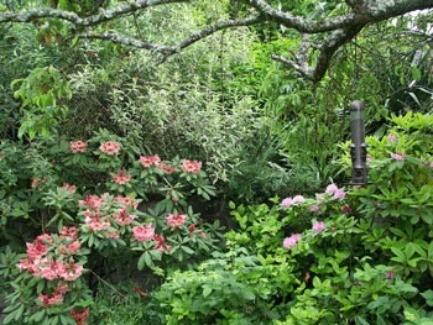 Washington Rhododendron in May