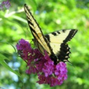 Butterfly on Butterfly Bush