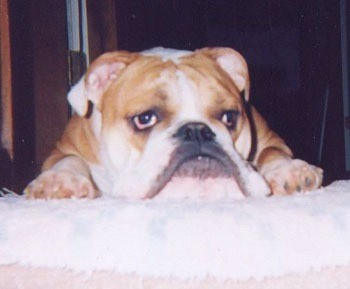 English Bulldog laying down