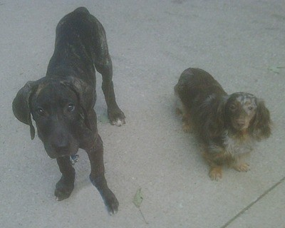 Great Dane and Dachshund
