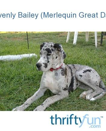 Heavenly Bailey (Merlequin Great Dane)   ThriftyFun