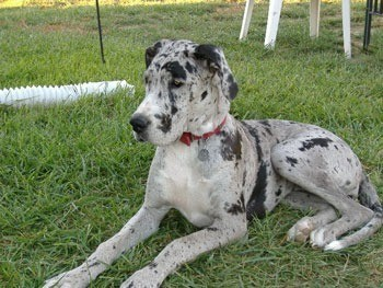 Merlequin Great Dane