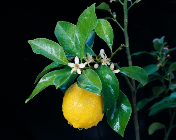 Lemon and blossoms on tree
