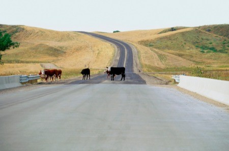 Custer State Park, Animals walking on a road