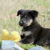 Puppy on lawn with stuffed toy.