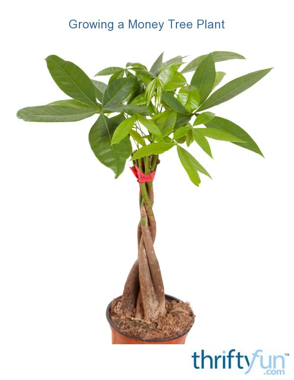 Growing A Money Tree Plant Thriftyfun