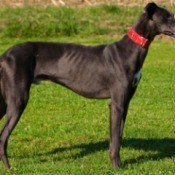 Sideview of Greyhound standing on grass.